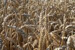 Россия, биотопливо и АПК: перепроизводство зерна и сахарной свеклы диктует свои рыночные законы