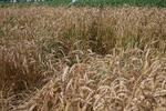 Свыше 170 сортов зерновых и зернобобовых культур создано в Подмосковье