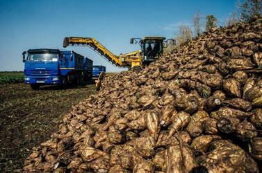 Рекордная урожайность у мантуровских свекловодов Курской области – не ниже 720 центнеров с га!